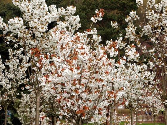 Cherry trees in the Alnwick Garden