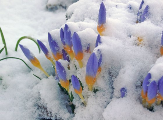 Crocuses in snow. Photo credit: Simon Dyer.